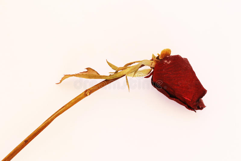 Rosas secas foto de archivo