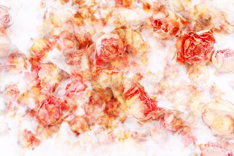 Rosas secas bonitas, fundo artístico imagem de stock royalty free