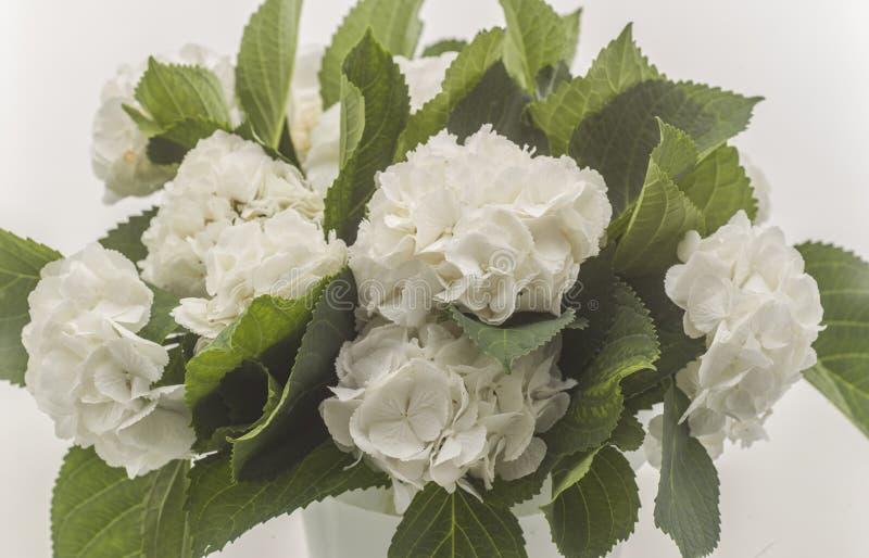 Rosas selvagens brancas isoladas imagens de stock