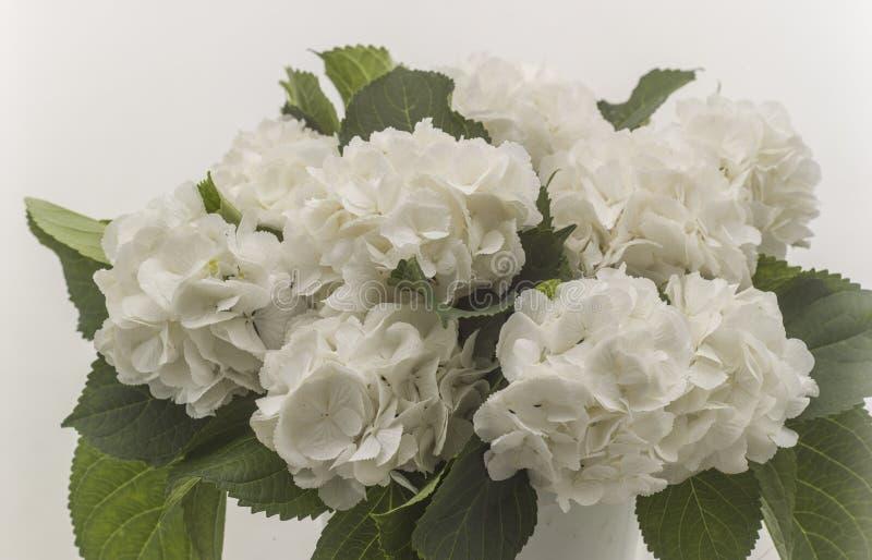 Rosas selvagens brancas isoladas fotografia de stock