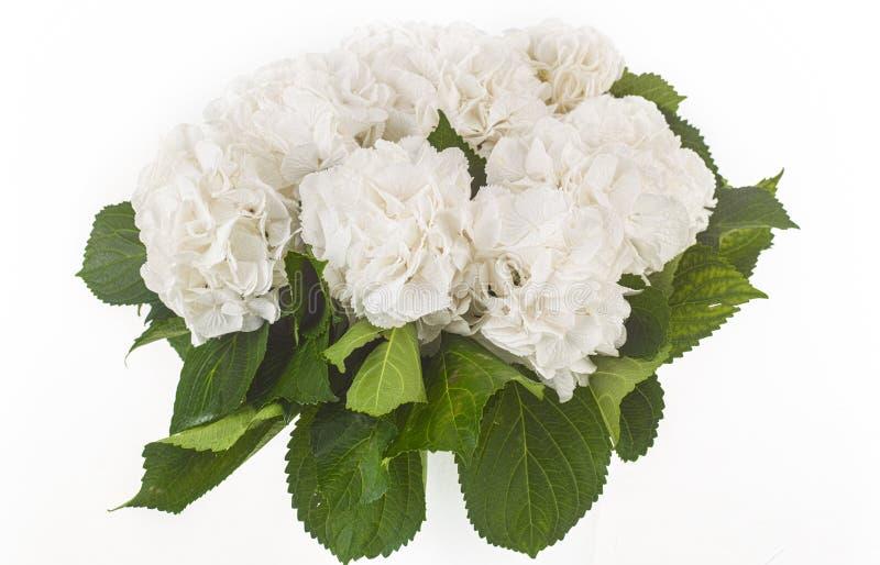 Rosas selvagens brancas isoladas no fundo branco fotografia de stock