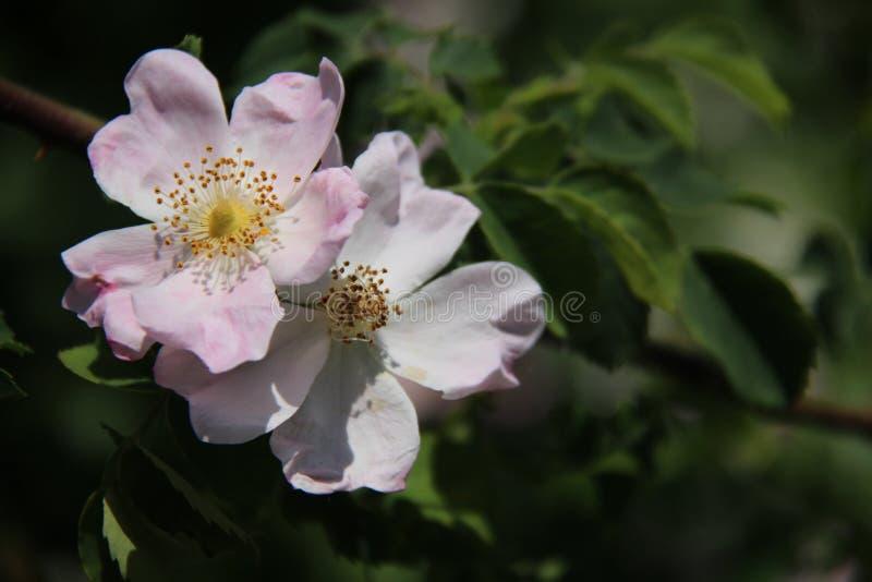 Rosas selvagens cor-de-rosa doces de florescência e folhas verdes novas imagens de stock royalty free