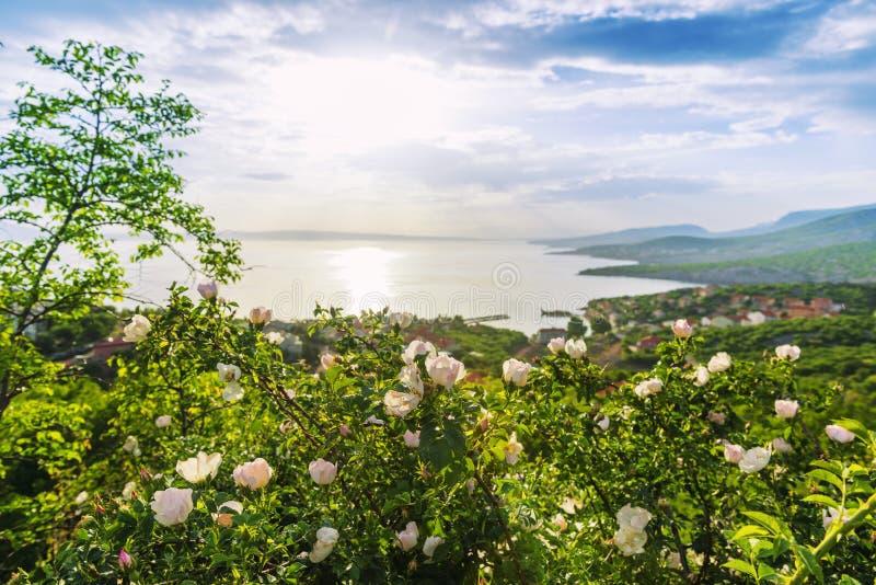 Rosas selvagens de florescência bonitas na costa de mar do adriático foto de stock