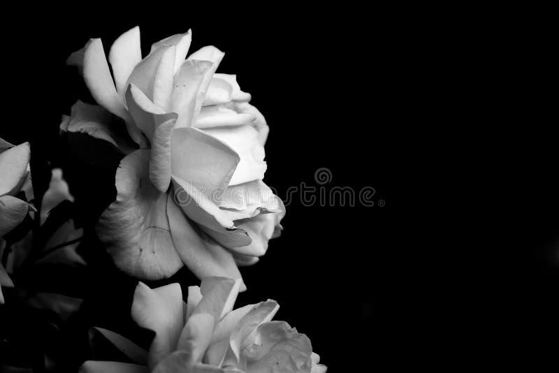 rosas selvagens isoladas no fundo preto Versão preto e branco imagem de stock