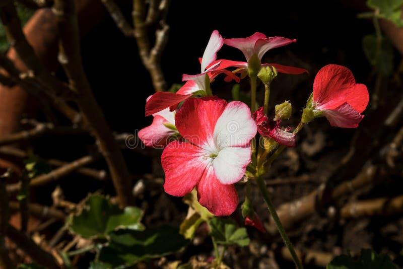 Rosas selvagens vermelhas na floresta fotografia de stock royalty free
