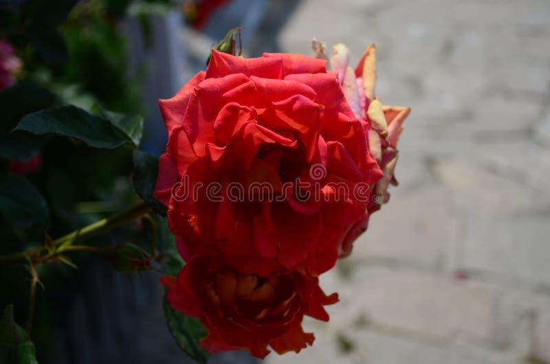 Rosas surpreendentemente bonitas na ilha de Nessebar Bulg?ria imagem de stock royalty free