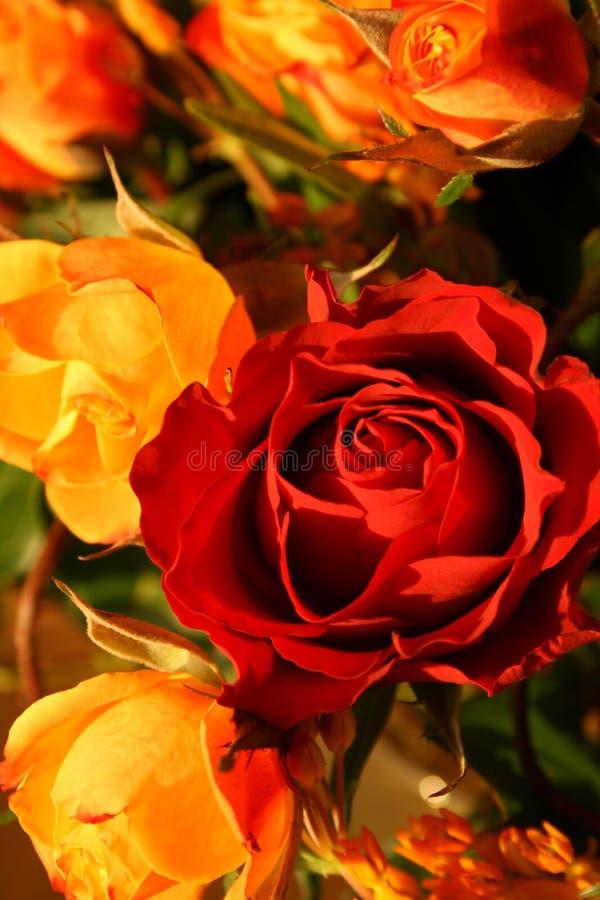 Rosas sutiles fotos de archivo libres de regalías