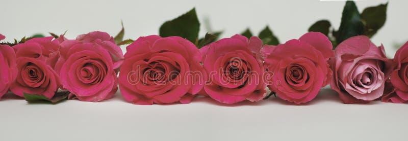 Rosas vermelhas bonitas arranjadas na linha isolada no branco bandeira foto de stock