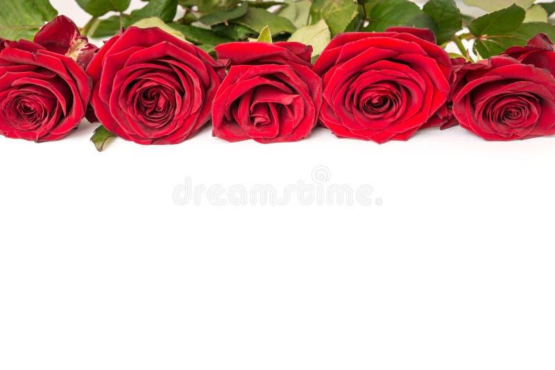 Rosas vermelhas bonitas isoladas no fundo branco fotos de stock