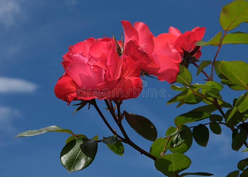 Rosas vermelhas com folhas verdes e o céu azul foto de stock