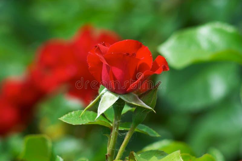 Rosas vermelhas da rua imagem de stock