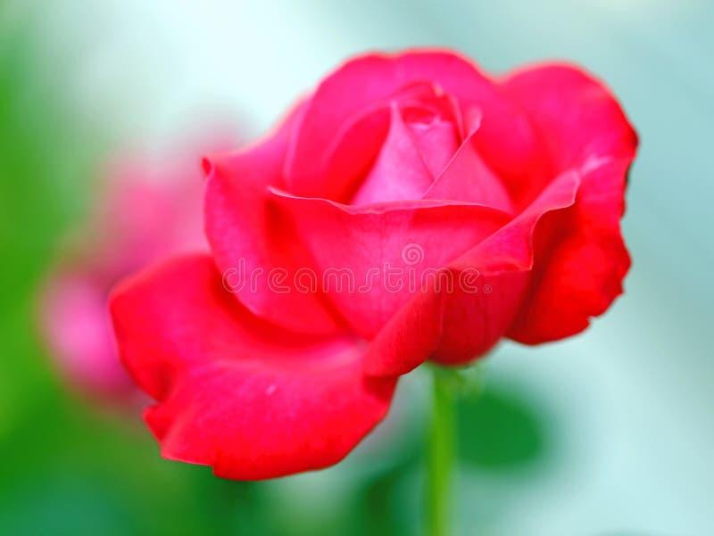 Rosas vermelhas das flores bonitas fotografadas perto acima em um fundo verde imagem de stock