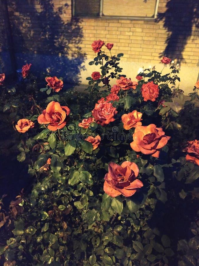 Rosas vermelhas de surpresa Na noite fotos de stock