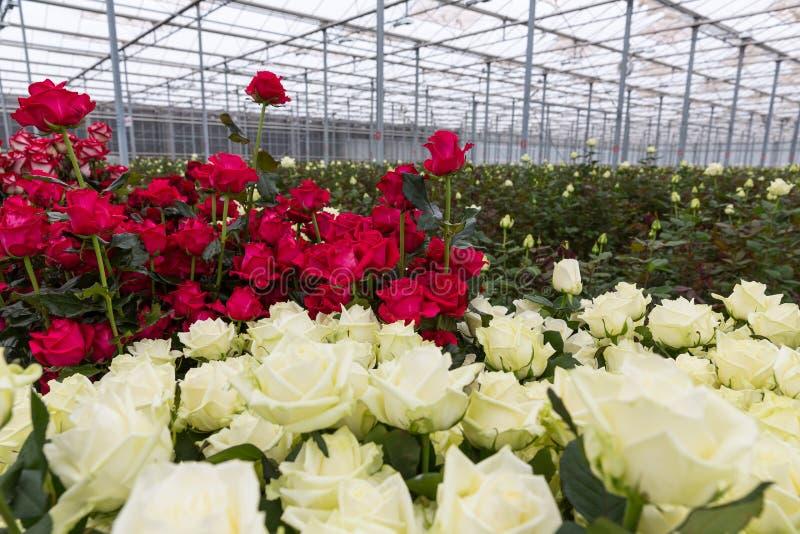 Rosas vermelhas e brancas da estufa imagens de stock
