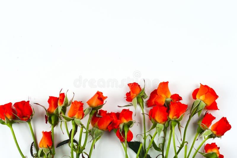 Rosas vermelhas em um fundo branco imagem de stock royalty free