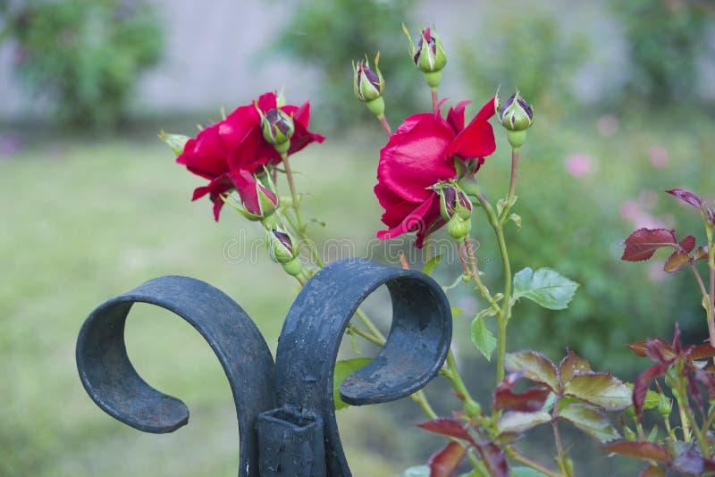 Rosas vermelhas em uma cama de flor imagem de stock