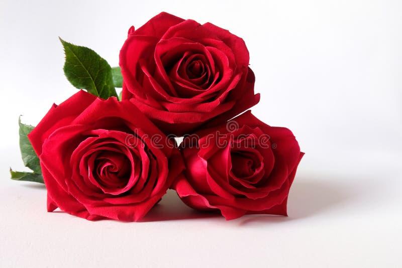 Rosas vermelhas isoladas no fundo branco fotos de stock royalty free