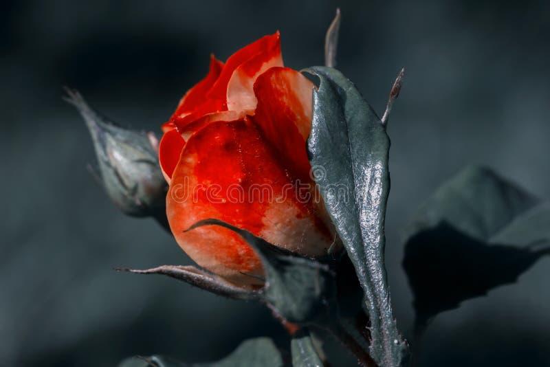 Rosas vermelhas n?o florescidas do bot?o nas profundidades do jardim fotografia de stock