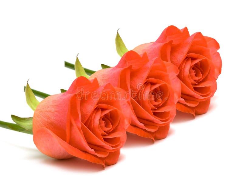 Rosas vermelhas no branco foto de stock royalty free