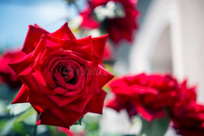 Rosas vermelhas no jardim fotografia de stock