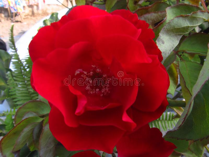 Rosas vermelhas no quintal foto de stock royalty free
