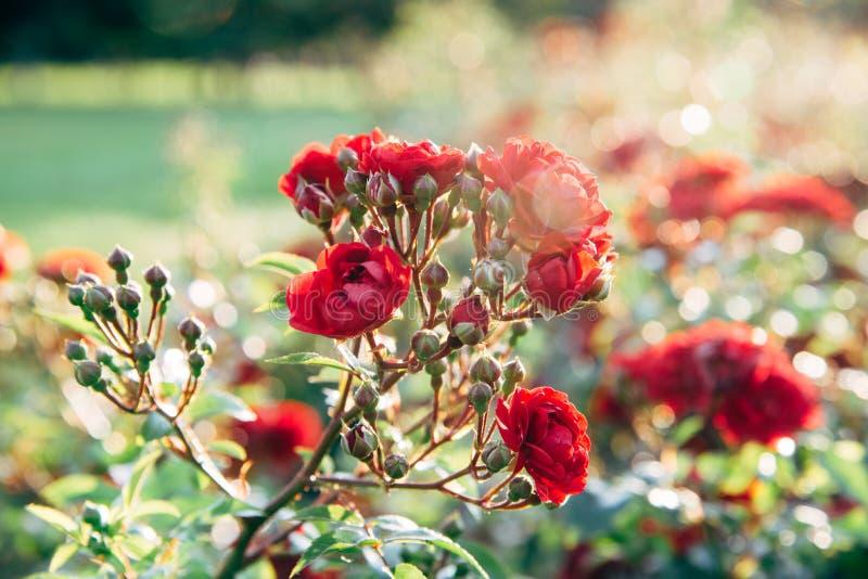 Rosas vermelhas nos raios do sol da noite fotos de stock royalty free