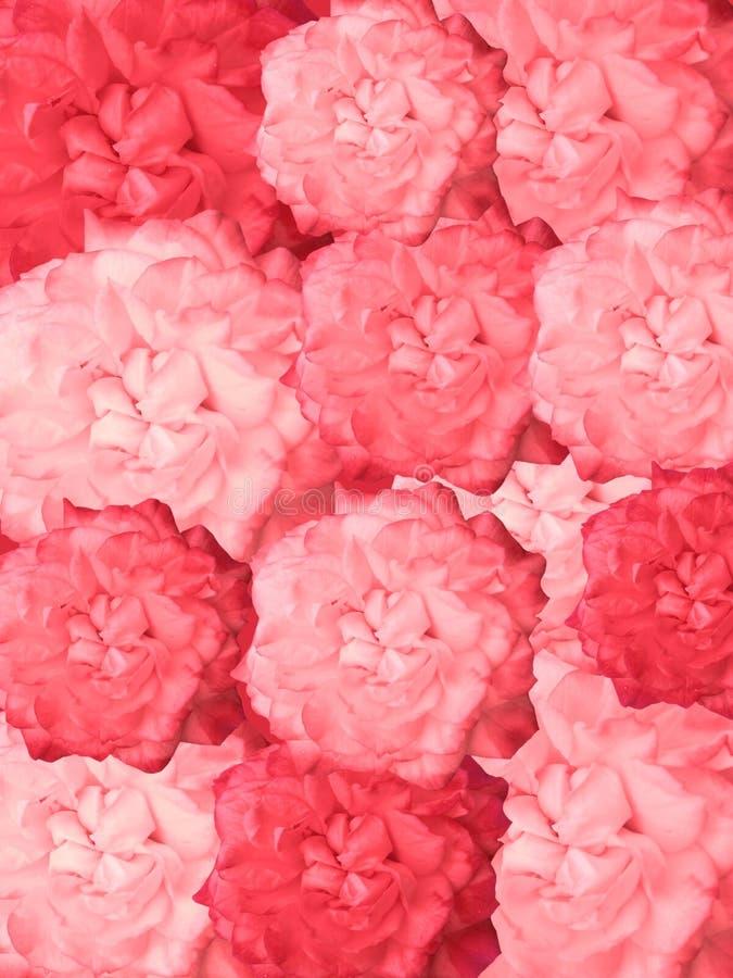 Rosas vermelhas para a decoração imagens de stock