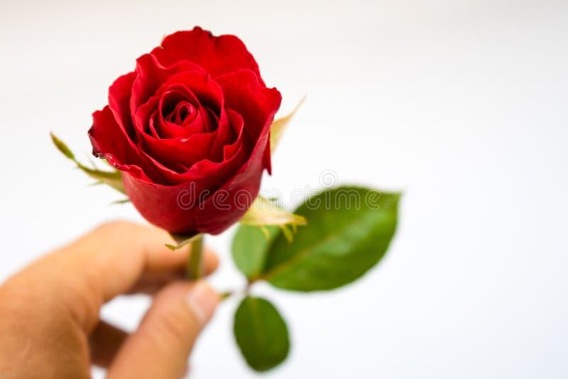 Rosas vermelhas para o dia do ` s do Valentim isoladas no fundo branco Fundo do branco do cartão do Valentim imagem de stock royalty free