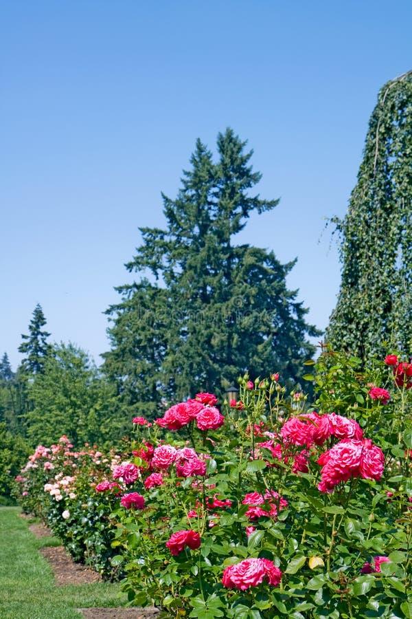 Rosas y rboles de hoja perenne verticales imagen de for Arboles de hoja perenne infojardin