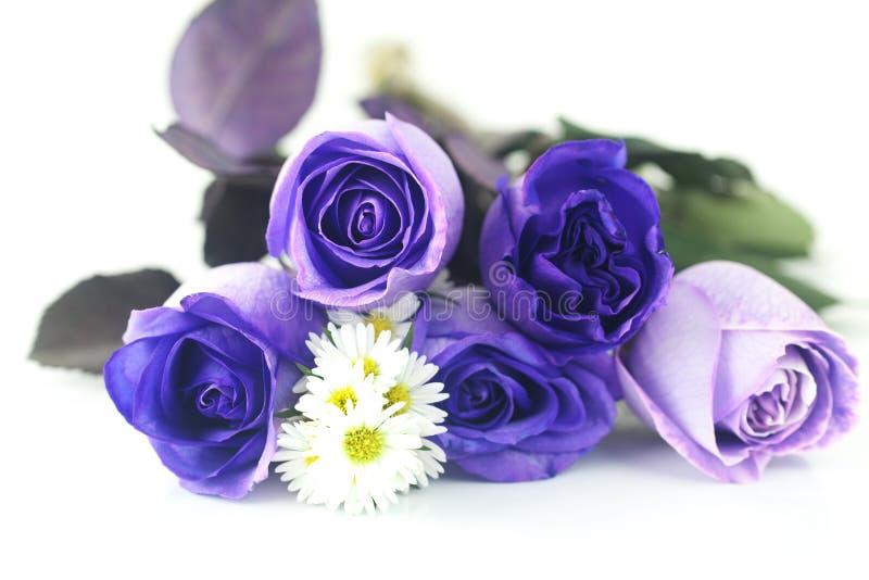 Rosas y manzanillas violetas hermosas imagen de archivo libre de regalías