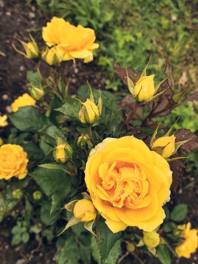 Rosas yelloy hermosas en el jardín, día soleado fotos de archivo