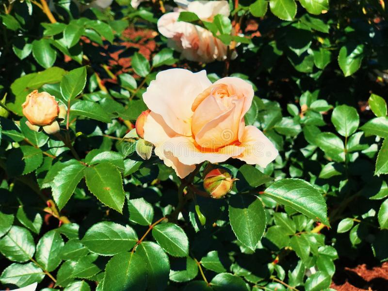 Rosblüten aus Weiß und Rosa blühenden Rosen im Rosengarten des Elizabeth Park lizenzfreie stockbilder