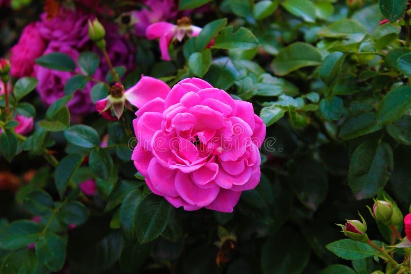 Rosblommor med kronblad arkivfoto