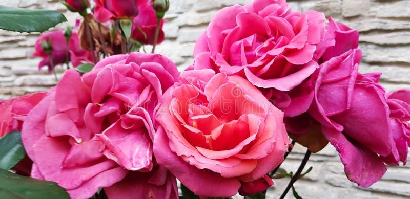 Rosblommor på filialen med stort varierade rosa toner arkivfoto