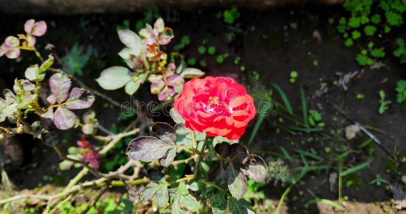 Rosboom i ljust dagsljus royaltyfri foto