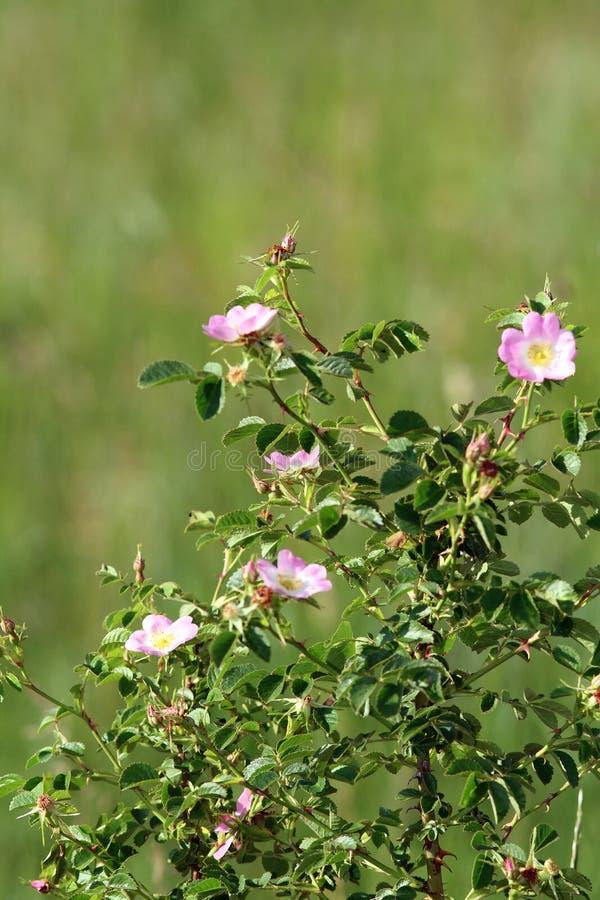 Rosbuske för lösa rosa färger arkivfoto