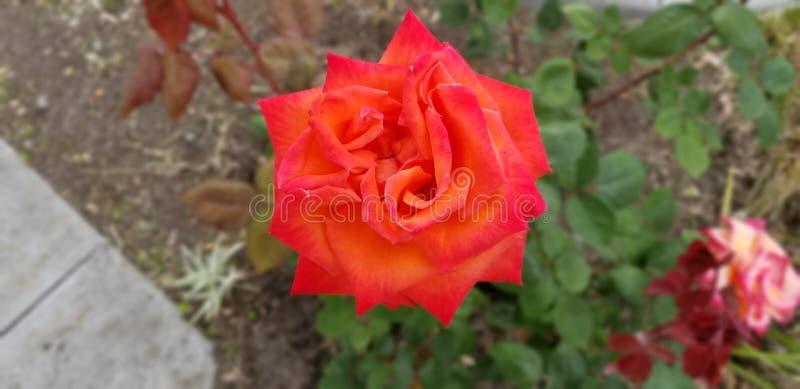 Rose étincelée rouge image stock