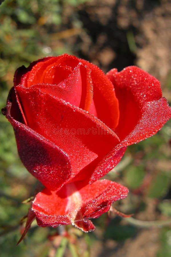 Rose świeże