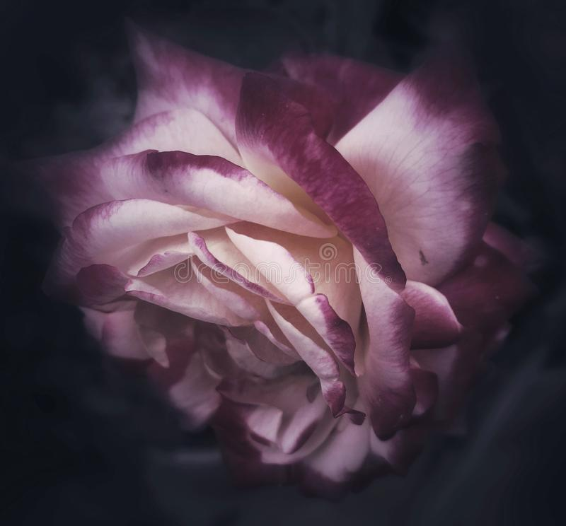 rose świecić obraz royalty free