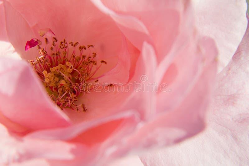 Rose как предпосылка стоковое изображение