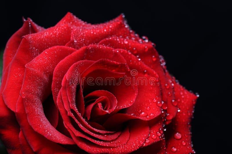 Rose с падениями стоковое фото rf