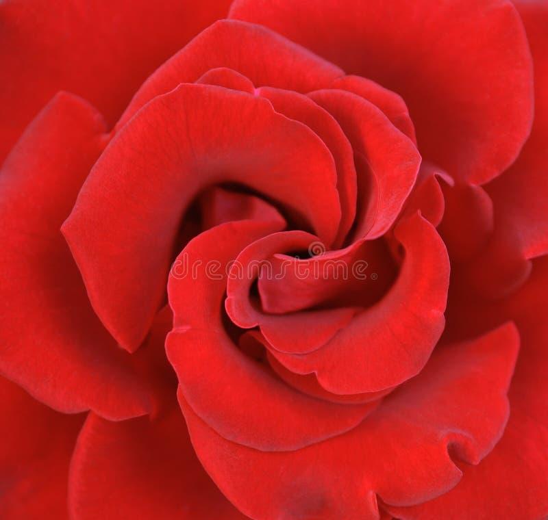 Rose 001 photo libre de droits