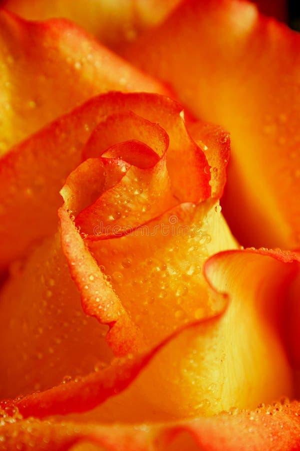 Free Rose 1 Royalty Free Stock Photo - 932555