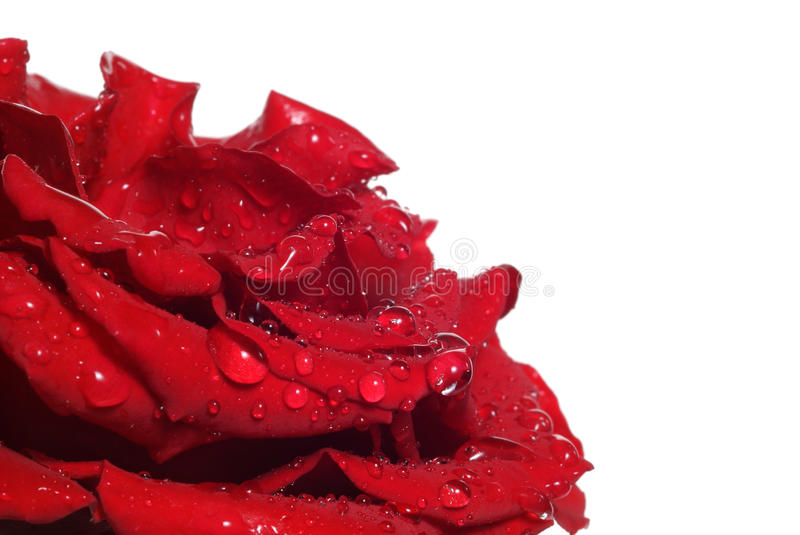 Download Rose stock photo. Image of delicate, color, gift, birthday - 10508790