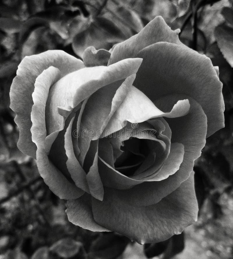 Rose imagen de archivo libre de regalías