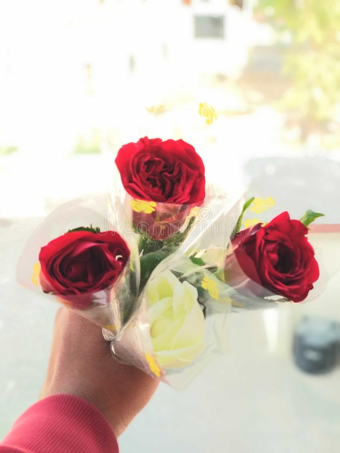 Rose stockbild