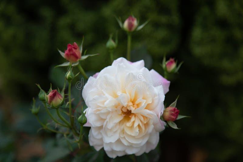 Rose lizenzfreies stockfoto