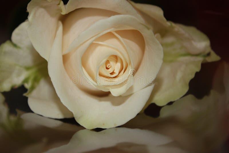 Download Rose Royalty Free Stock Photo - Image: 12978135