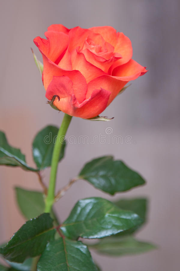 Free Rose Stock Images - 13827204