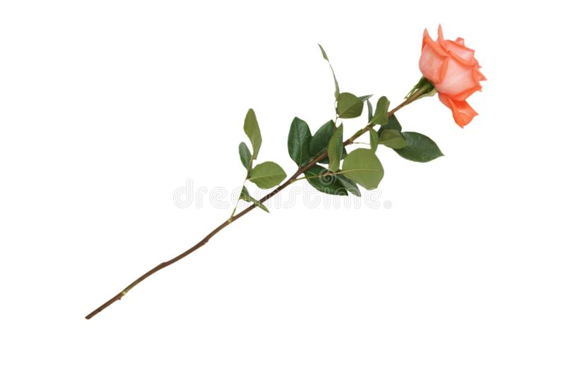 Rose. The rose isolated on white stock photography